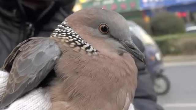3只斑鸠树林落难,翅膀被剪尾巴受伤