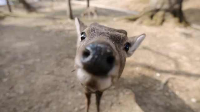 日本奈良鹿咬人频发,打破历史纪录