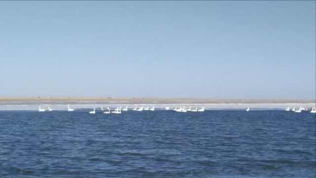 游客青海湖追着投食,10万候鸟围观