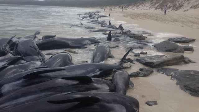 澳超过150头鲸搁浅,一半已死亡