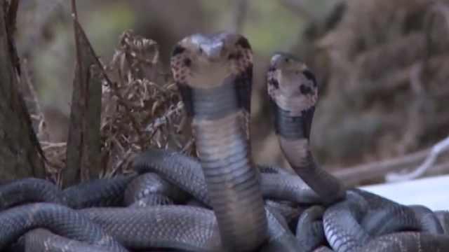 大巴暗藏300条野生蛇,有剧毒眼镜蛇