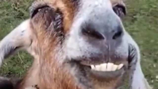 一只很享受的羊,笑脸迷之魔性