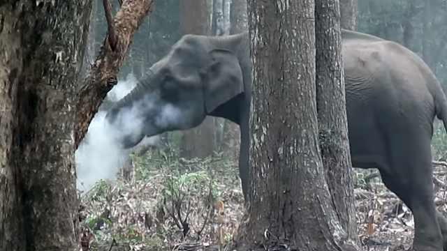 """印度大象被拍到""""吸烟"""":吞云吐雾"""