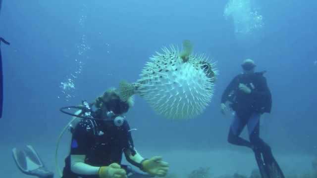萌翻全场!潜水员海底偶遇超萌河豚