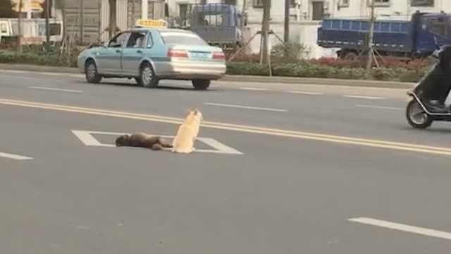小狗被撞倒,同伴不惧车流身旁守候