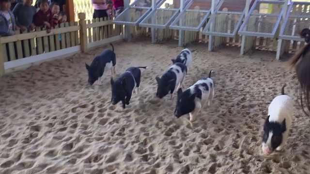 欢乐小猪赛跑,家长抱娃追猪