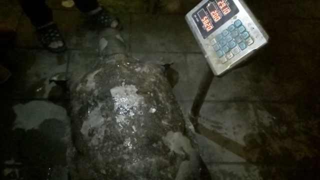 市民散步捞起巨型鳖,重58斤比盆大