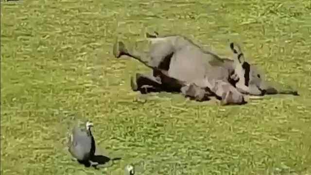 爆笑!小象与一群鸭的爱恨纠葛