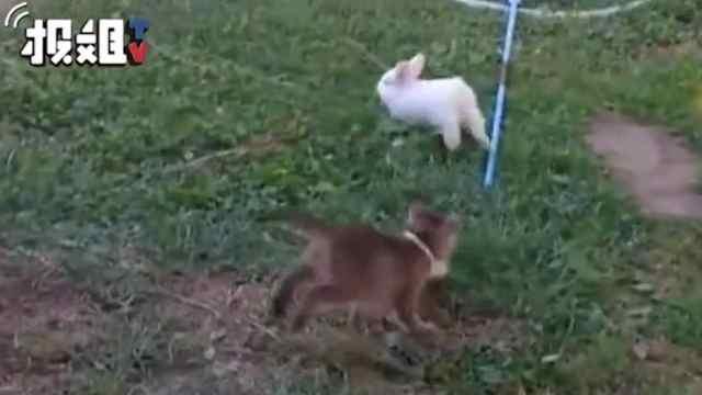小奶猫和小兔几追逐玩闹,很有爱了