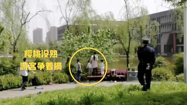 大学樱桃未熟,游人爬树摘与鹅抢食