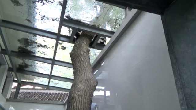最让人放松的公厕!香樟树屋内生长