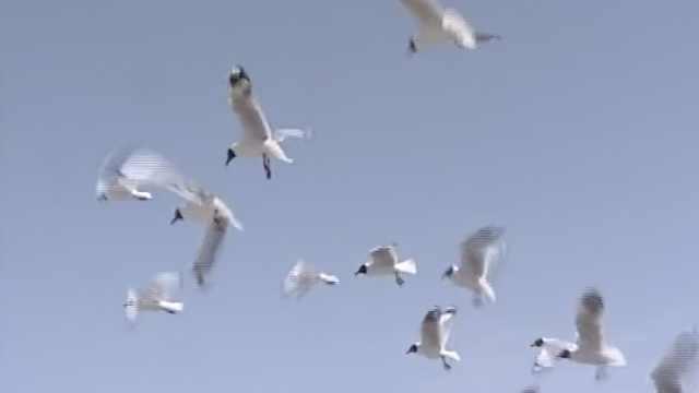 恋爱季到了!万只候鸟青海湖觅伴侣