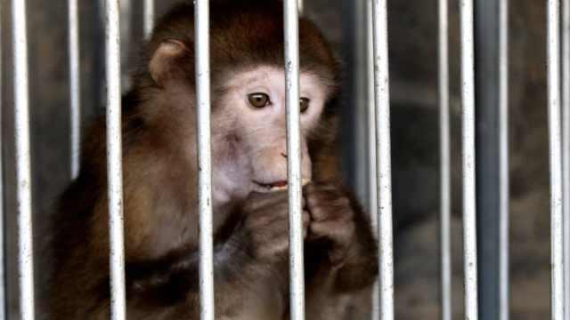 她养小猴5年,上交发现竟是