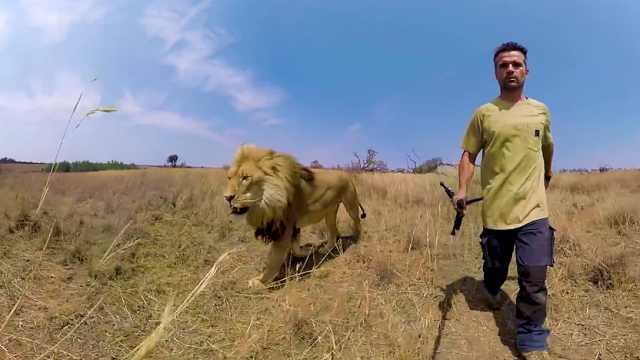非洲狮子数量锐减,20年内恐灭绝