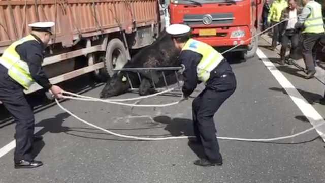 澳洲公牛受惊跳车,头卡护栏到处撞