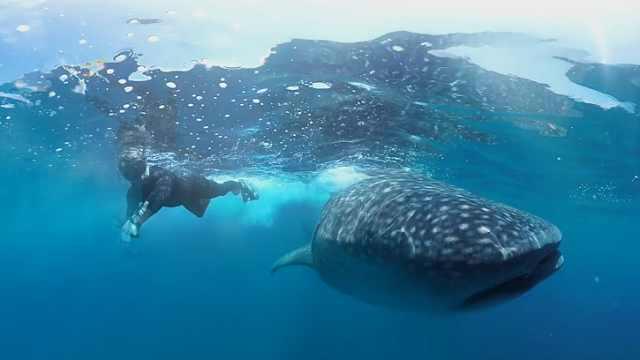 与濒危动物鲸鲨海底共舞,罕见罕见
