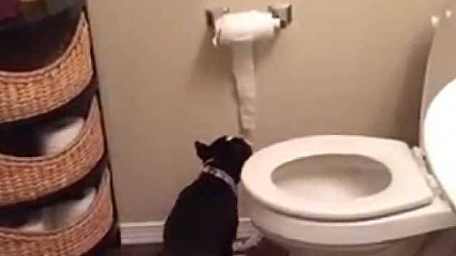 狗狗爱讲究!上厕所也用卫生纸
