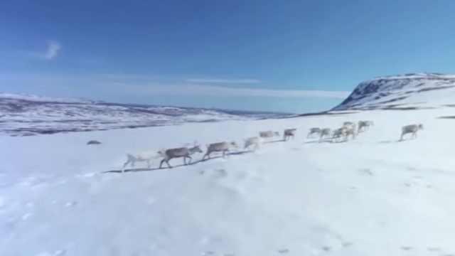 气候变暖,瑞典大量驯鹿被活活饿死