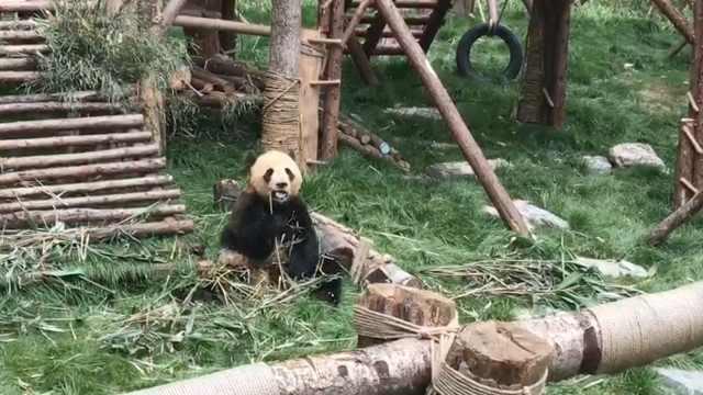 """""""海归""""熊猫,引万名粉丝打 call"""