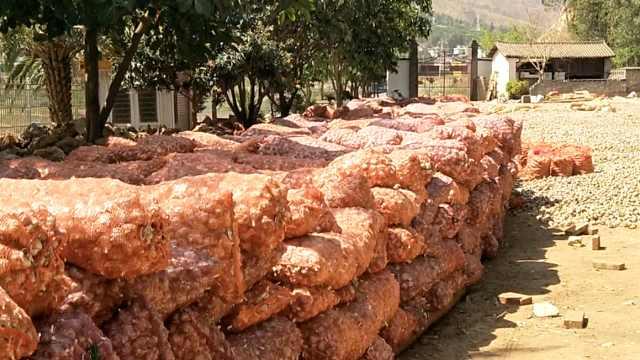 丽江5千吨大蒜滞销,1元2斤被贱卖