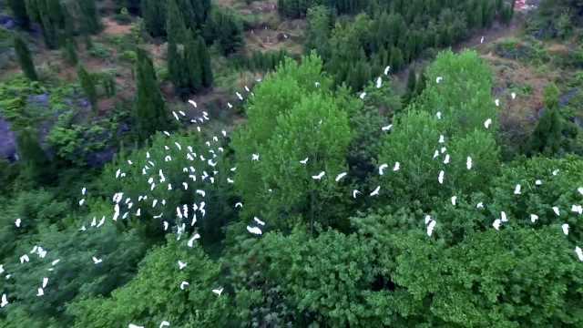 万只白鹭飞绿树!这里成候鸟天堂