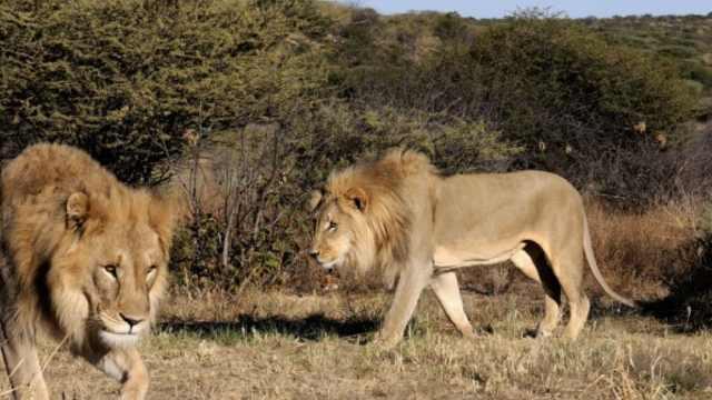 11头狮子被毒杀,疑遭当地村民报复