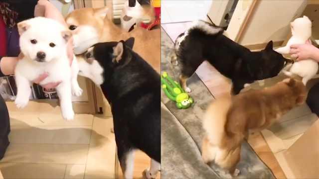 家里迎来新成员,狗狗居然这种反应