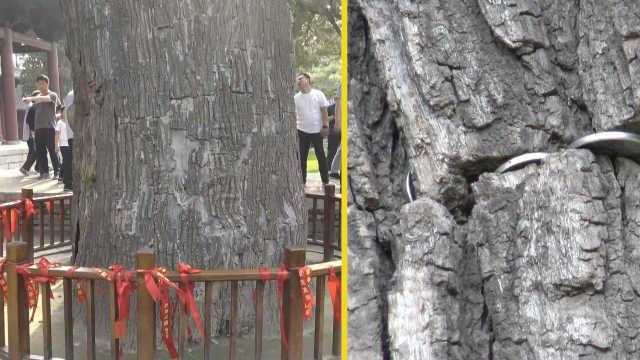 千年古槐树被塞满硬币,游客:求吉祥