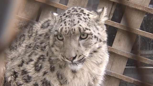 雪豹消瘦似猫,离山百公里麦田寻食