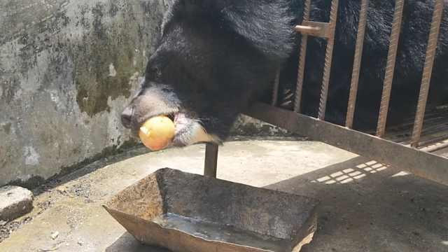 好意外!小黑狗养2年,变成400斤黑熊