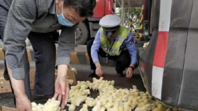 爆笑!小鸡高速上满地跑,民警帮捉