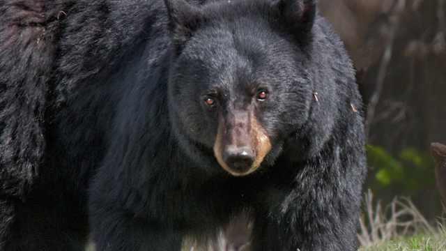 野外遇到熊,装死靠谱吗?
