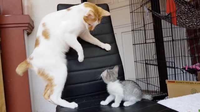 怂猫咪见幼崽,被吓到浑身僵硬