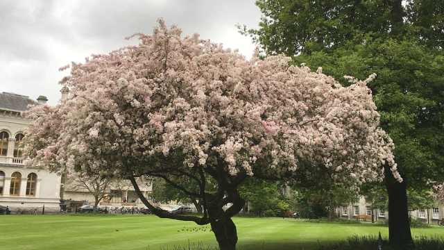 日本樱花谢了,爱尔兰樱花绽成云海