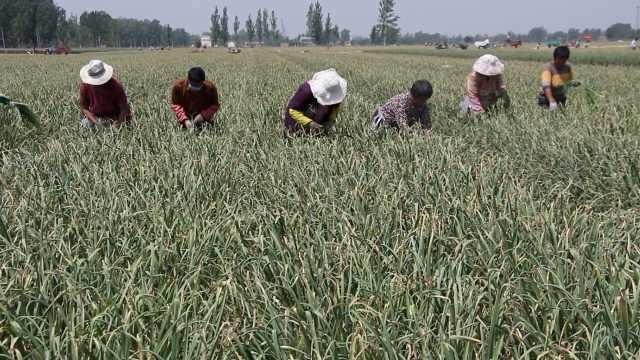 新蒜苔低价上市,蒜农:基本白忙活