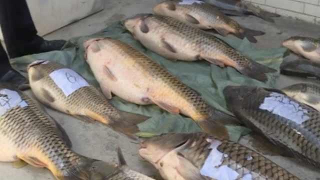 两兄弟洱海电鱼,百斤产卵鲤鱼遭殃