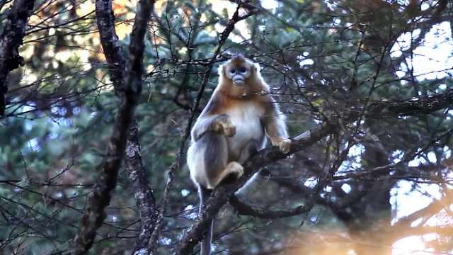 【秒拍大自然·25期】川金丝猴