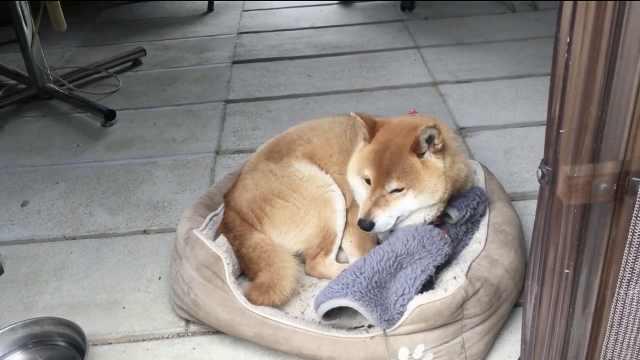 狗狗整理床铺失败,心情低落