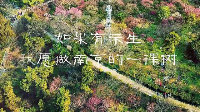 如果有来生,我愿做南京的一棵树
