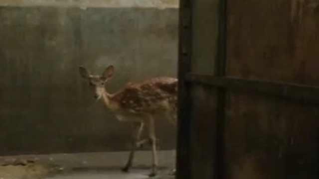 梅花鹿逃出动物园,奔上高速被撞飞