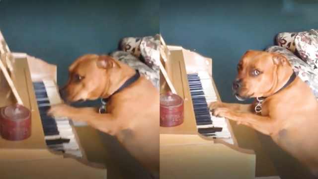 狗狗表演才艺,边弹钢琴边唱歌