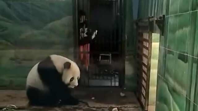 武汉一熊猫被曝饲养不善,园方回应
