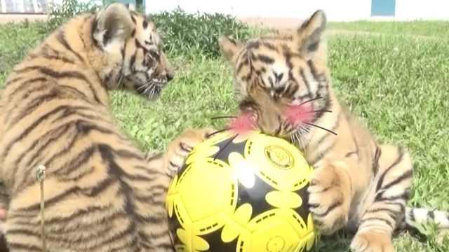 东北虎崽踢足球,C罗梅西也没它凶