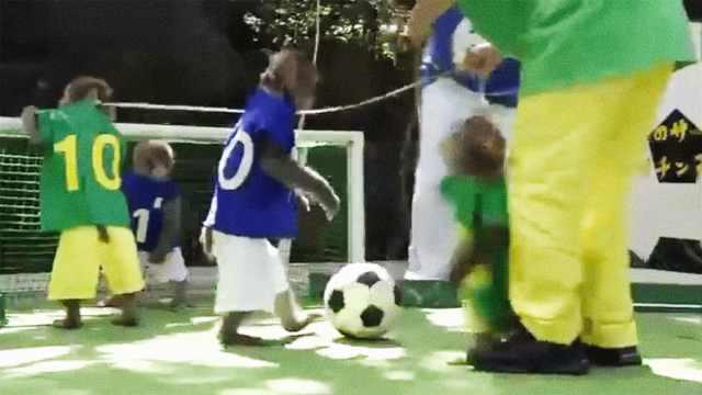 日本猴子踢足球,预测狂胜塞内加尔
