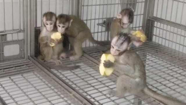精力充沛!克隆猴姐妹花回归猴群