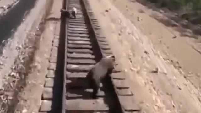 为保护铁轨上的幼崽,母熊冲向火车