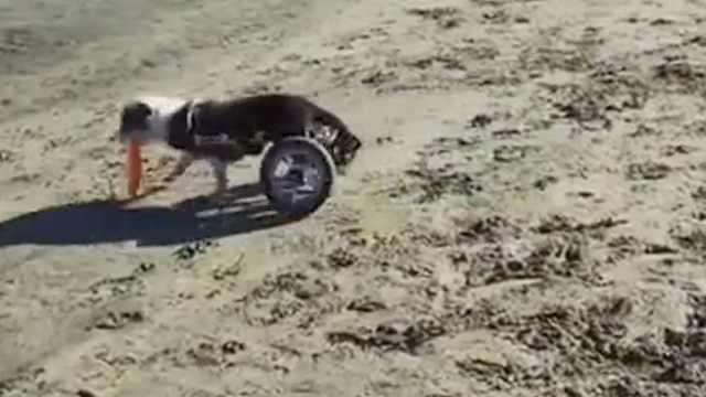 治愈!后腿残疾狗狗沙滩开心玩飞盘