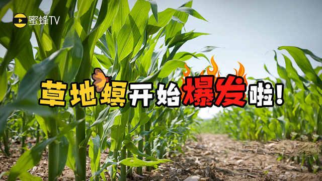 农户请注意:玉米草地螟开始爆发啦