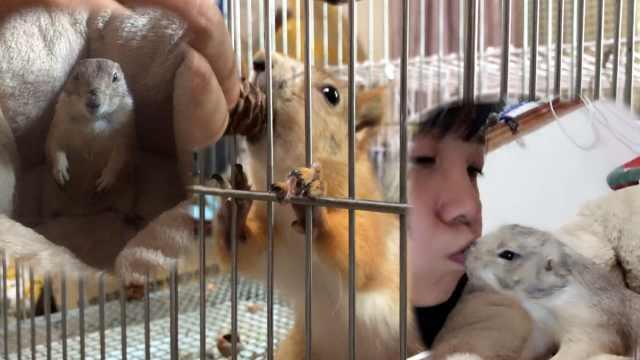可爱松鼠脸妹子,和土拨鼠嘴对嘴亲