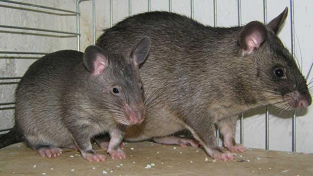 传说的切尔诺贝利巨鼠,真存在吗?